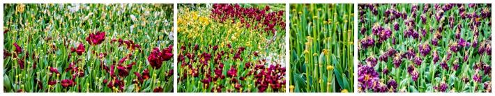 tulips Emirgan Park dead