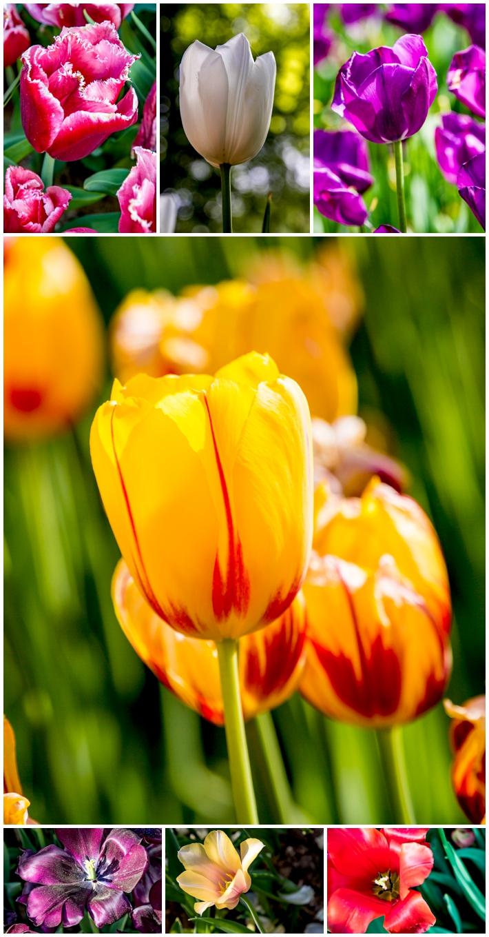 tulips Emirgan Park alive
