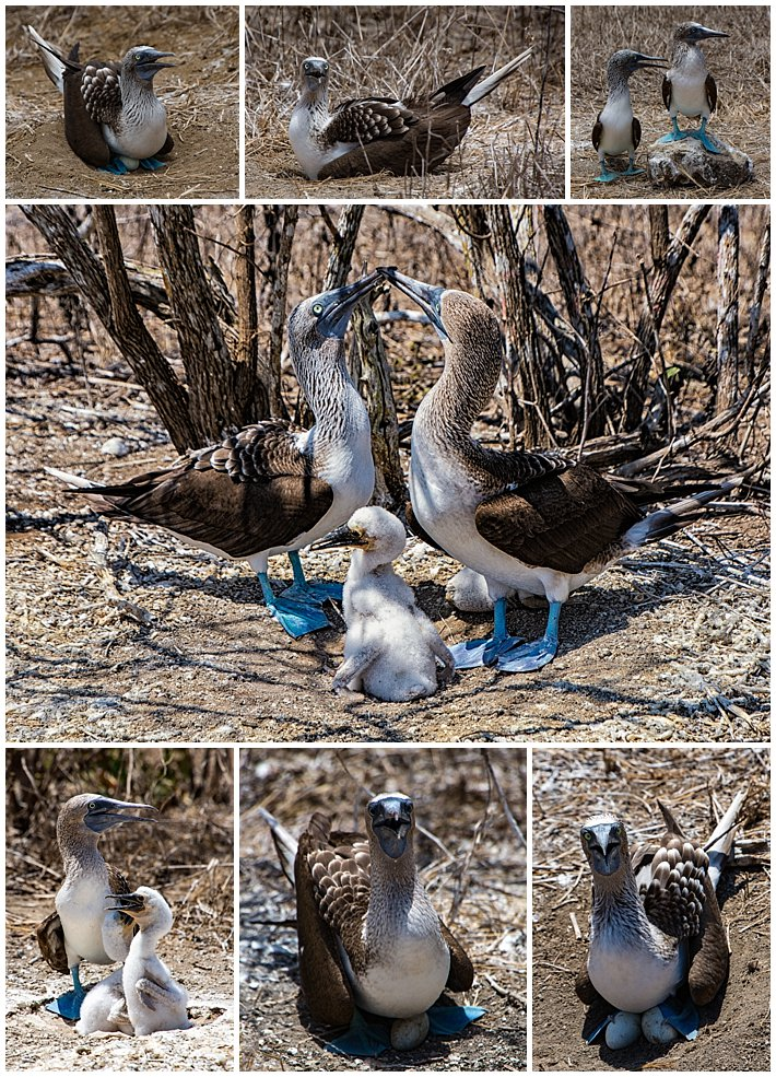 Puerto Lopez Ecuador 2016 island Isla Plata blue footed boobies