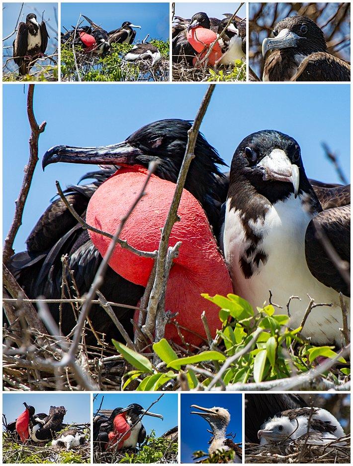 Puerto Lopez Ecuador 2016 island Isla La Plata Frigate Birds