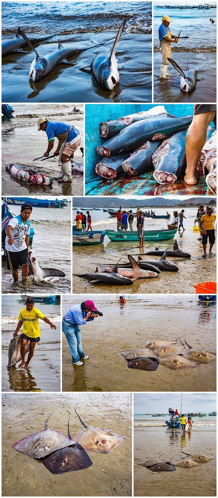 Puerto Lopez Ecuador 2016 sharks and manta rays