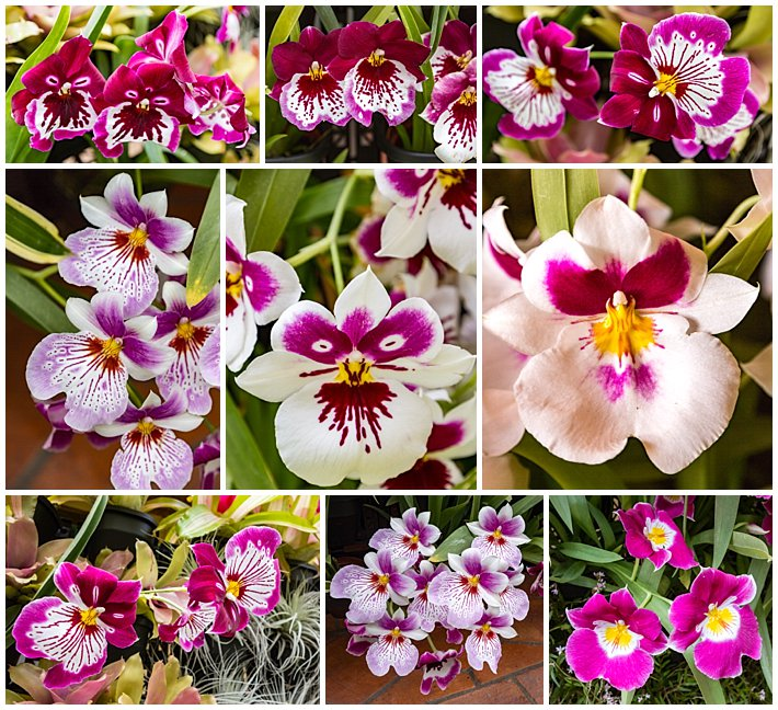 Orchid Wall Cuenca Ecuador 2016 - variant flowers