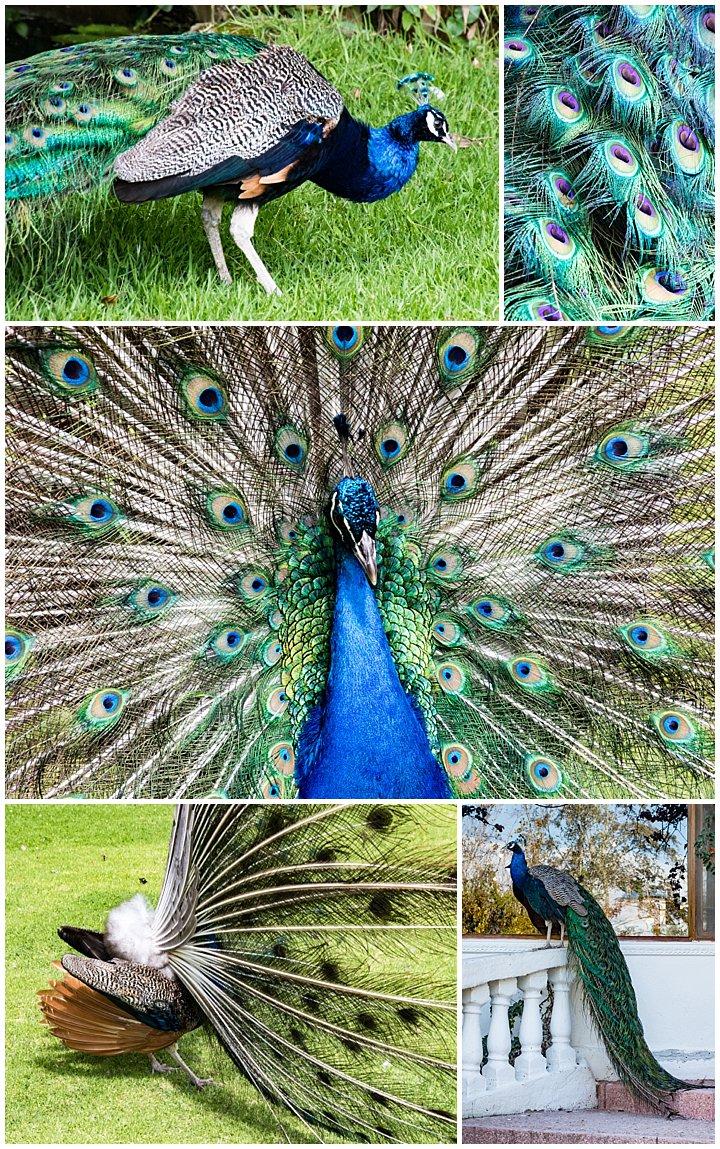 Mindo, Ecuador - peacocks