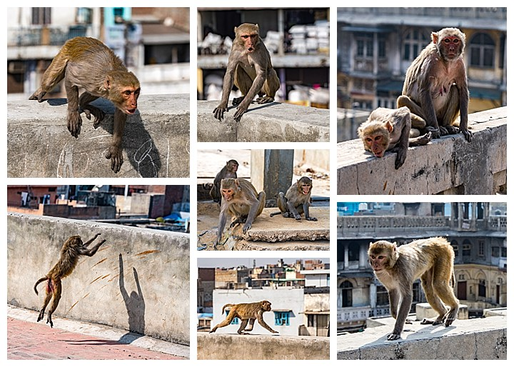 Delhi, India - monkeys