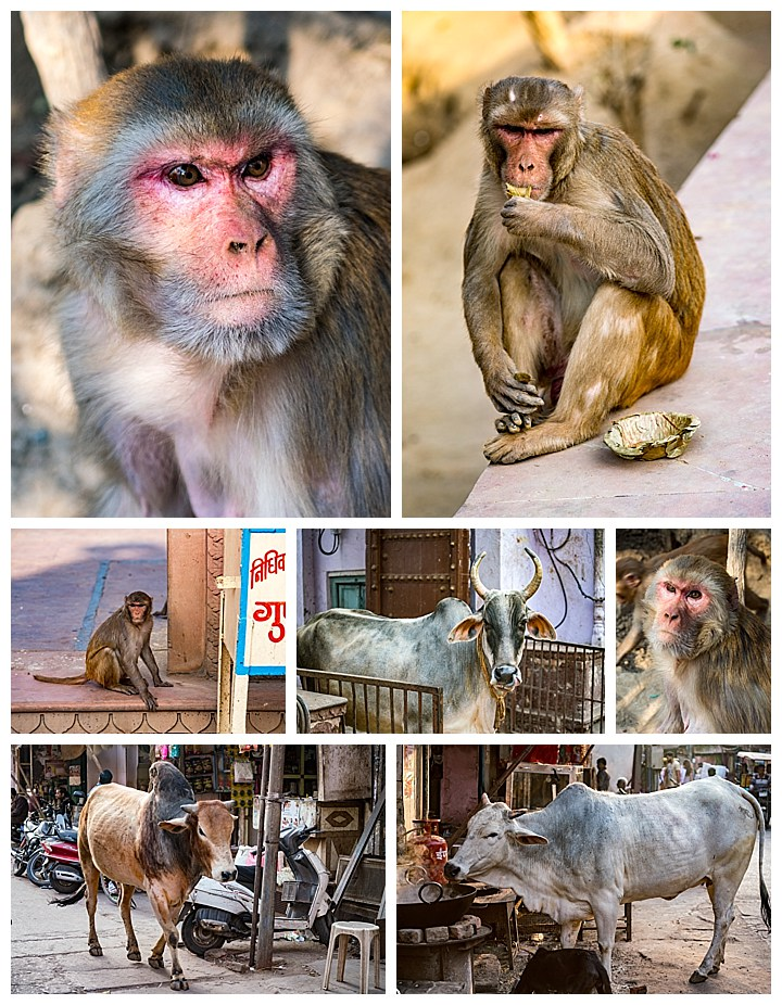 Vrindavan, India - animals, monkeys, cows, bulls