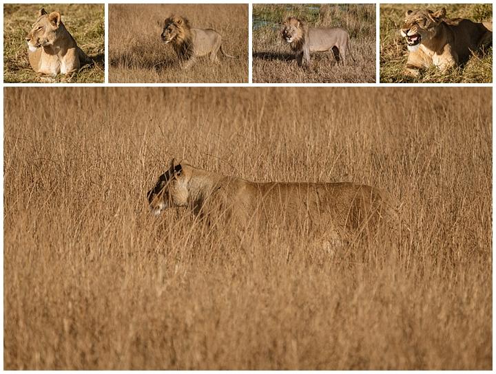 Botswana Khwai Camp - lions
