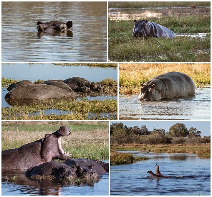 Botswana Khwai Camp - hippos