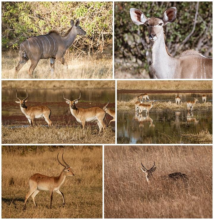 Botswana Khwai Camp - antelopes