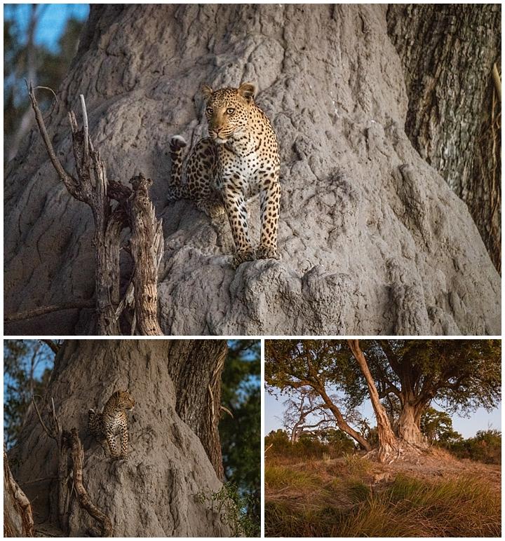 Botswana Okovango Delta - leopard