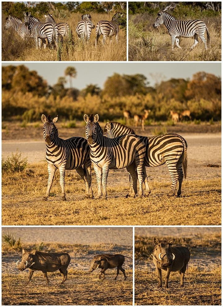 Botswana Okovango Delta - zebras